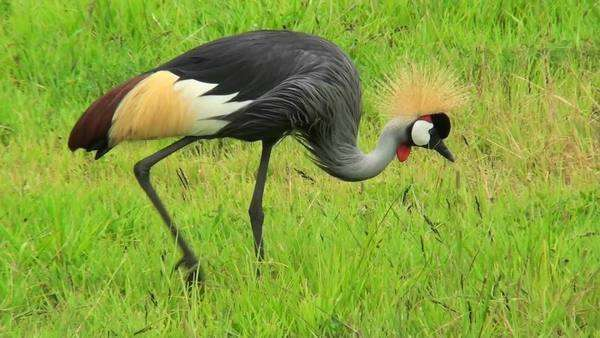An African crested crane forages in the grass. Royalty-free stock video