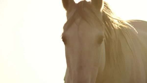 Horse trotting in field, view moves to a close-up shot of horse's muzzle Royalty-free stock video