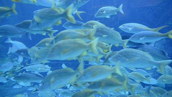 School of fish in large aquarium in the Bahamas Royalty-free stock video