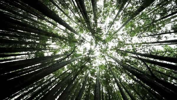 Panorama of a canopy of giant forest trees, California, USA Royalty-free stock video