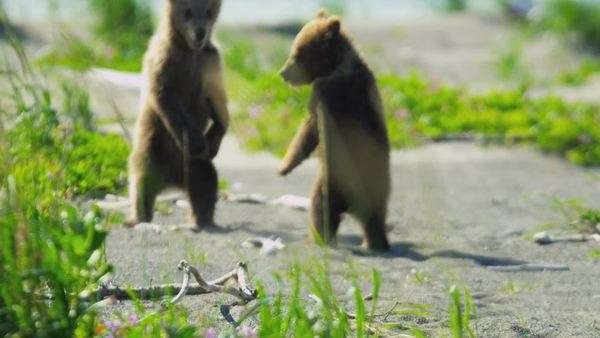 Baby Brown Bear cubs playing in summer time and having fun in the sun, Lake Clark National Park, Alaska, USA shot on RED EPIC Royalty-free stock video