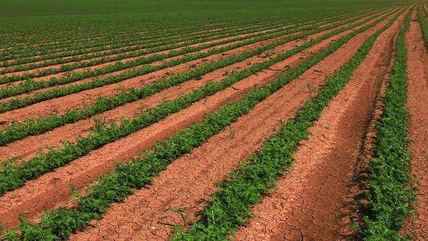 Wide pan, left to right, of rows of green cultivated bean plants, planted in the soil of Israel. Royalty-free stock video