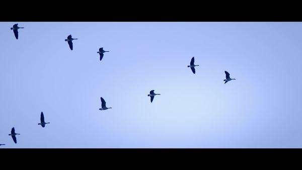 Low angle view of geese flying in V formation Royalty-free stock video