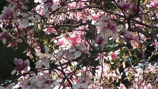 Beautiful blossoms wave gently with the wind. Royalty-free stock video