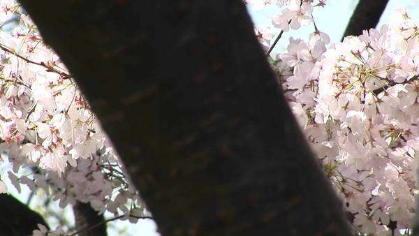 The camera pans across a tree filled with waving cherry blossoms. Royalty-free stock video