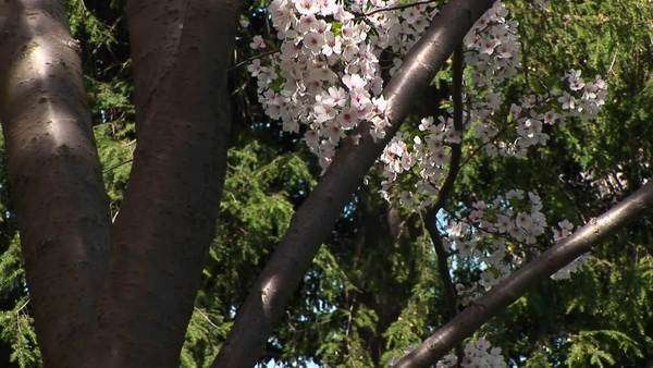 The camera slowly pans up a tree with beautiful cherry blossoms in full bloom. Royalty-free stock video