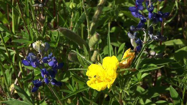 Wildflowers grow in a Texas field. Royalty-free stock video