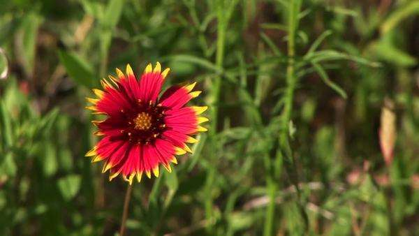 A wildflower grows in a Texas field. Royalty-free stock video