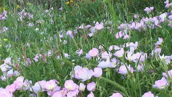 Medium-shot of pink and white Texas wildflowers. Royalty-free stock video