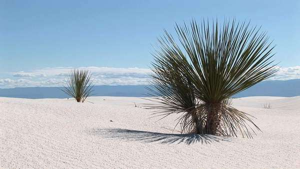 Medium shot of a yucca plant at White Sands National Monument in New Mexico. Royalty-free stock video