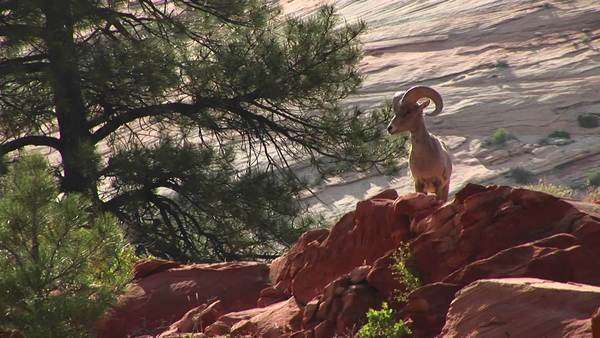 Medium shot of a desert Bighorn sheep atop a hill in Zion National Park. Royalty-free stock video