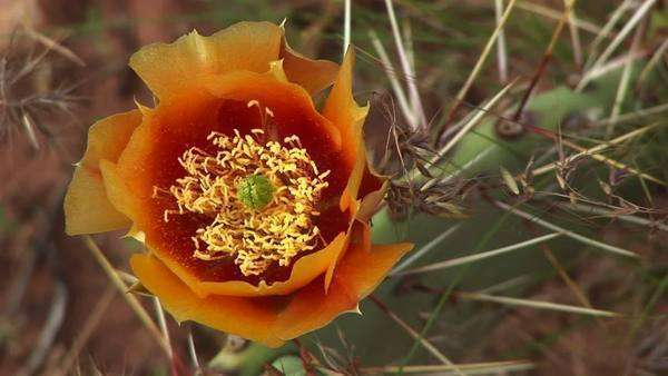 Close-up of a blooming desert cactus in Zion National Park. Royalty-free stock video
