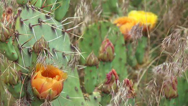 Close-up of blooming desert cactus in Zion National Park. Royalty-free stock video