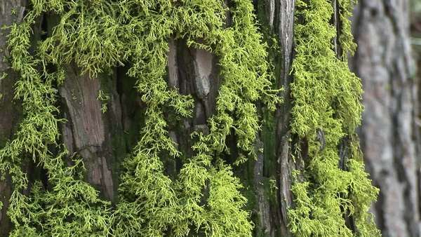Close-up of moss growing on the bark of a pine tree. Royalty-free stock video