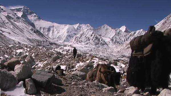 Yaks with expedition gear walking with Everest in the background Royalty-free stock video