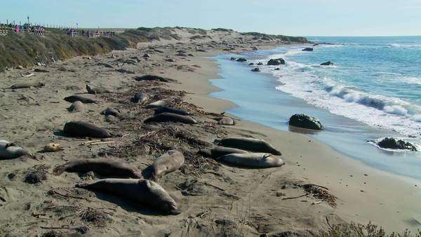 Large groups of elephant seals lie on a beach in Central California. Royalty-free stock video