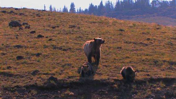 A grizzly bear and cubs walk along a hillside. Royalty-free stock video