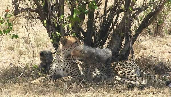 A leopard mother with cubs sits under a tree while the babies play. Royalty-free stock video