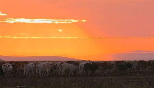 A herd of cattle move through a field near sunset. Royalty-free stock video