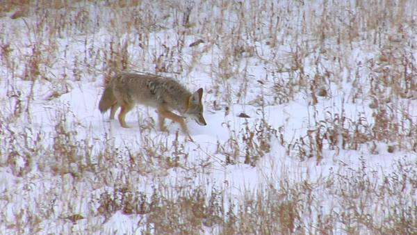 A coyote trots through the snowy plains. Royalty-free stock video