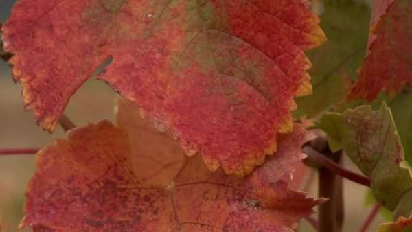 Vertical pan of grape leaves during harvest. Royalty-free stock video