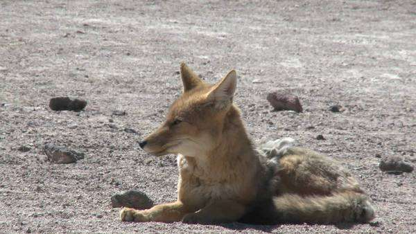 A desert fox in the altiplano high above San Pedro de Atacama Chile. Royalty-free stock video