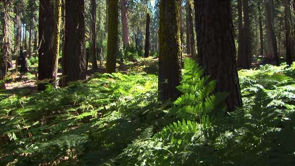 Ferns grow near trees in the forest. Royalty-free stock video