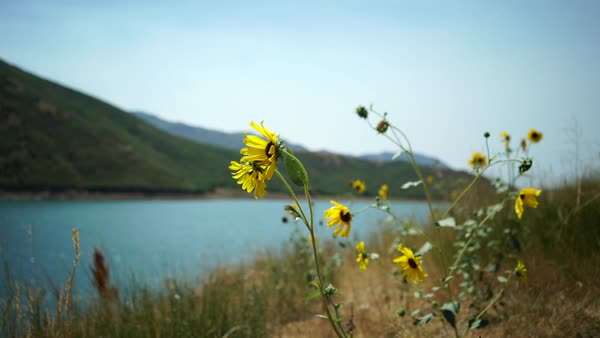 Close-up shot of wild flowers with mountain lake in the background Royalty-free stock video