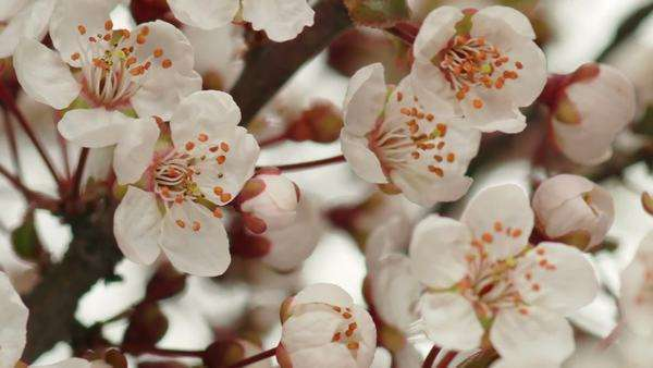 Flower blossoms opening on the branches of a cherry tree, timelapse Royalty-free stock video