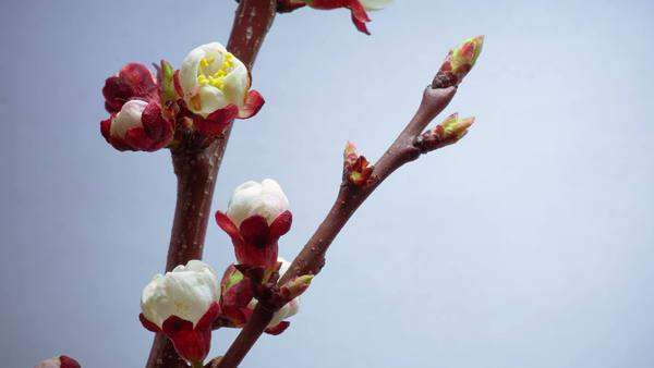 Flowers blooming on the branches of a plum tree, timelapse Royalty-free stock video