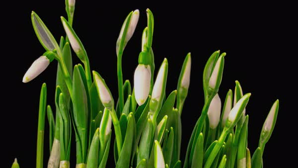 Soft white snowdrops blossom Royalty-free stock video