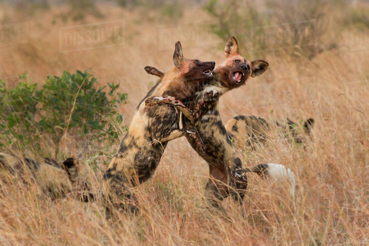 Two wild dog, Lycaon pictus, standing on their hind legs and fighting,  front legs around each other, bloody faces, mouths open showing teeth stock