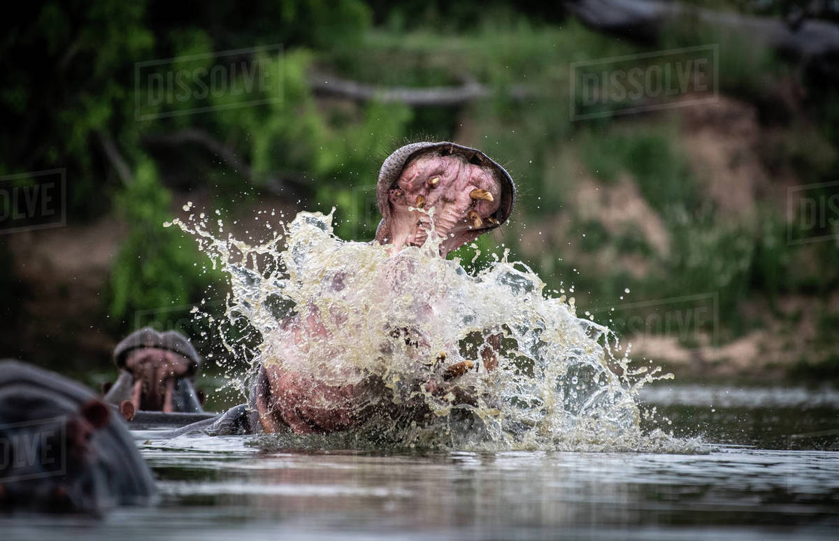 A hippo, Hippopotamus amphibius, raises its head out of the water and opens its mouth, splashing Royalty-free stock photo