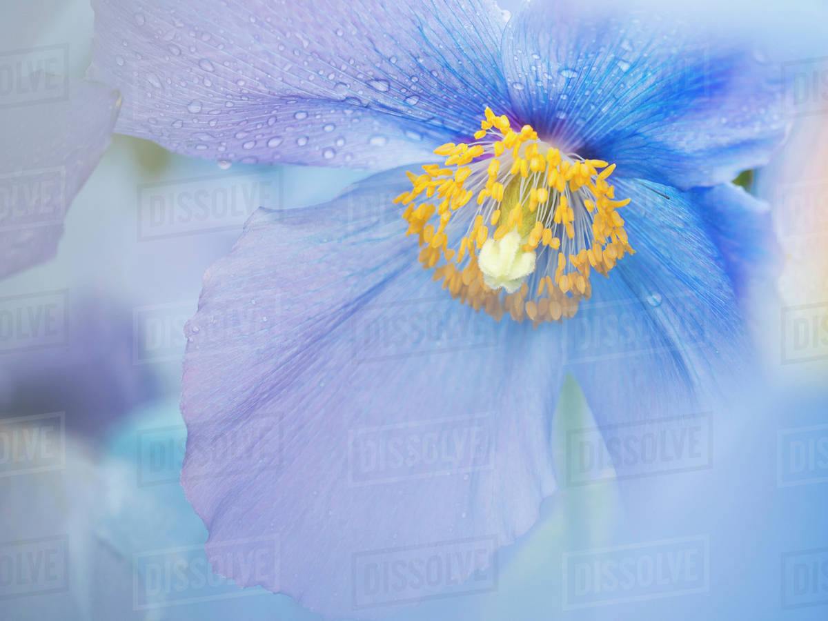 A Blue Poppy Flower Close Up With Rain Drops On The Petals Stock