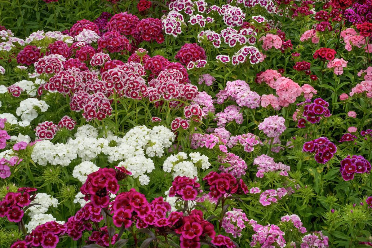 Sweet William Dianthus Flowering Plants