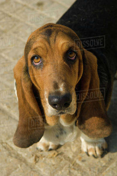 Close-up portrait of a Basset Hound.  Royalty-free stock photo