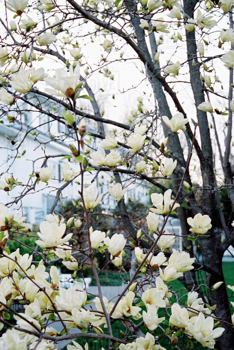 A Magnolia Tree With Large Creamy Blossoms Flowering In A Hotel