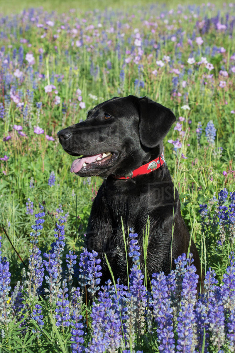 A Black Labrador Dog Sitting In A Field Of Tall Grass And Blue