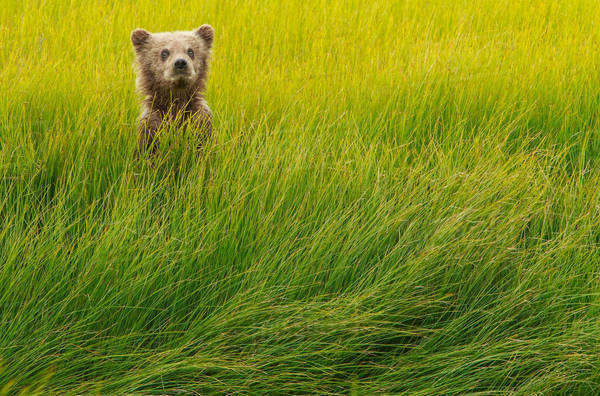 Brown bear cub, Lake Clark National Park, Alaska, USA Royalty-free stock photo