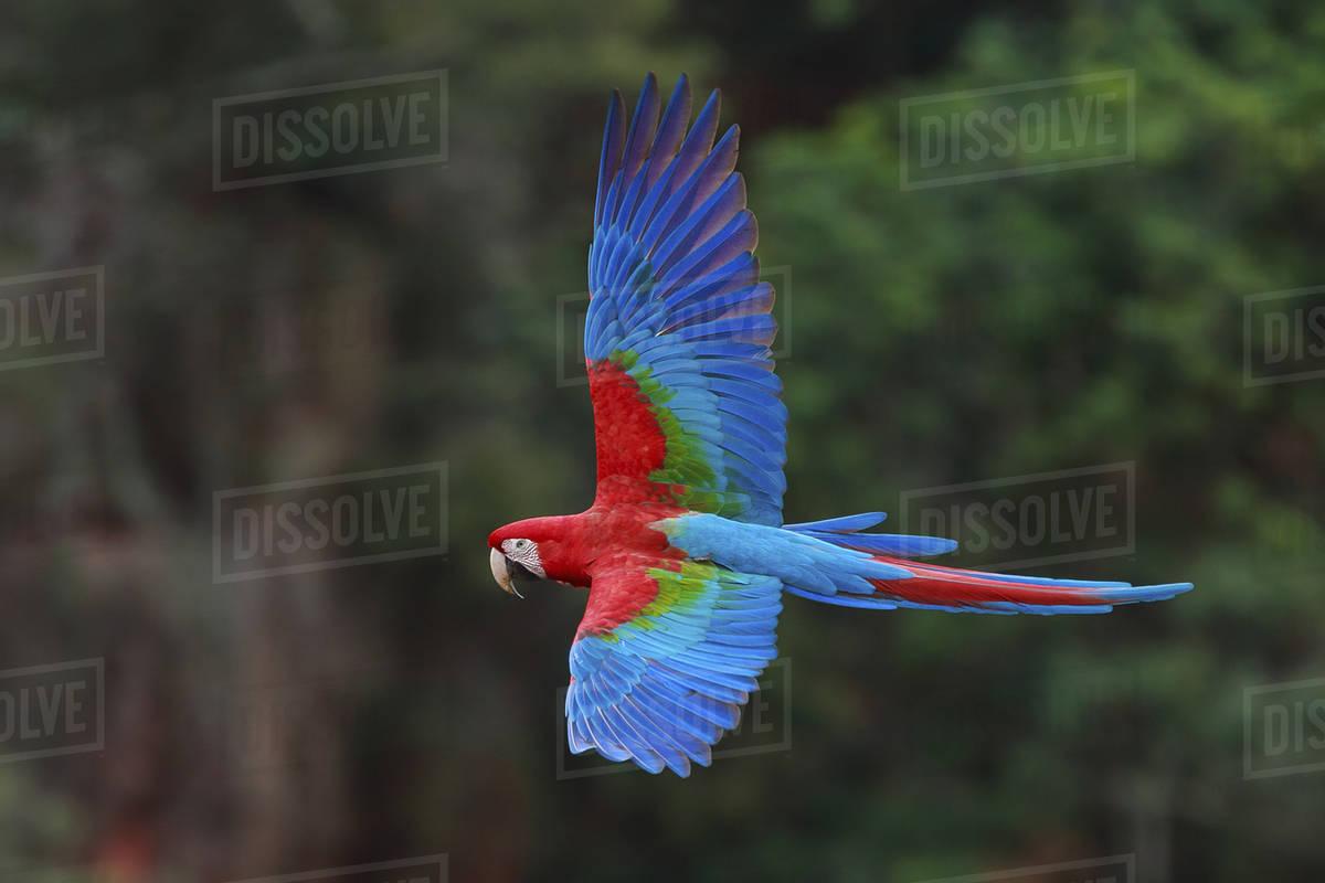 Red-and-green macaws, Ara chloroptera, Buraco das Araras, Brazil Royalty-free stock photo