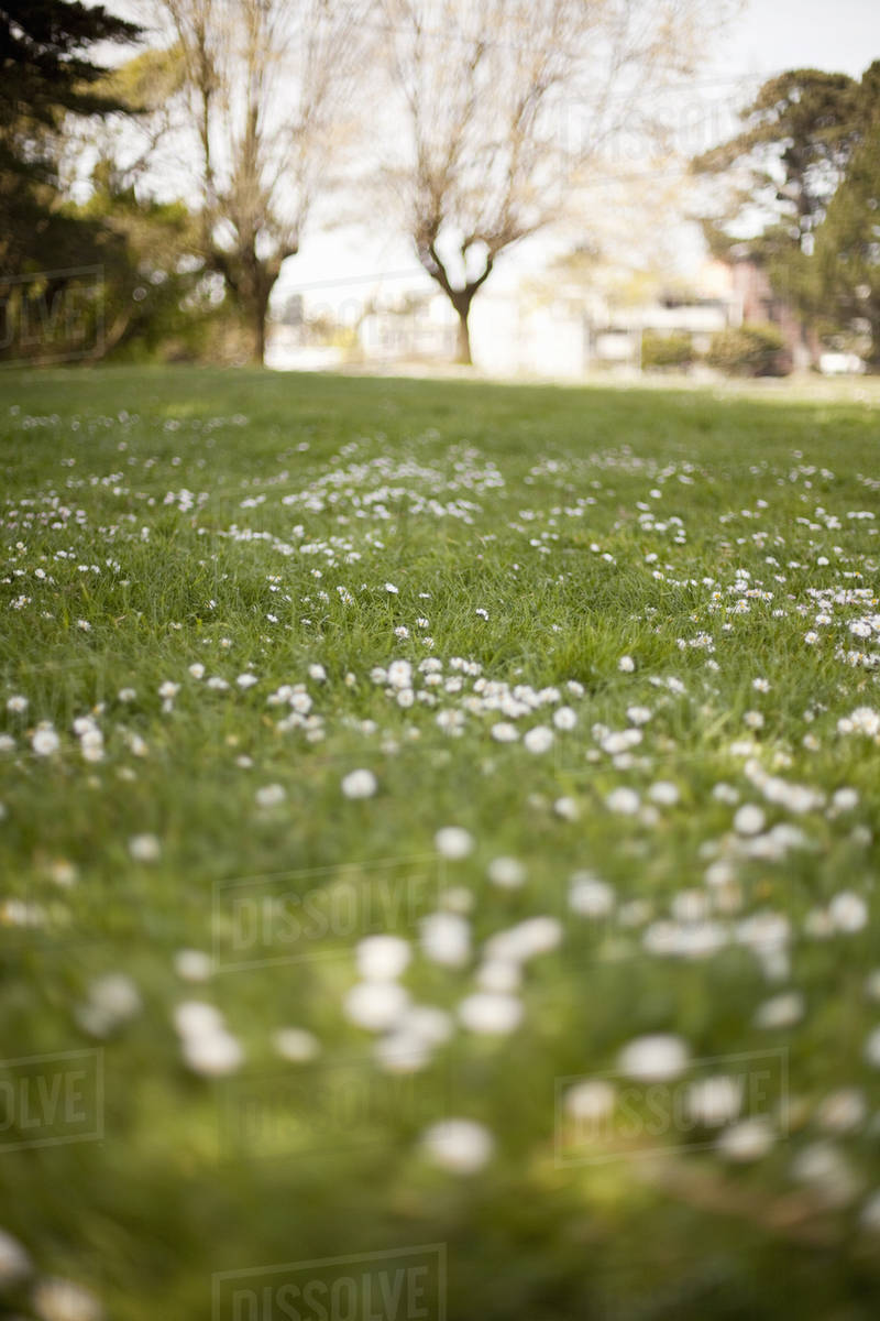 A Field In Spring Green Grass And White Flowers And Trees In The