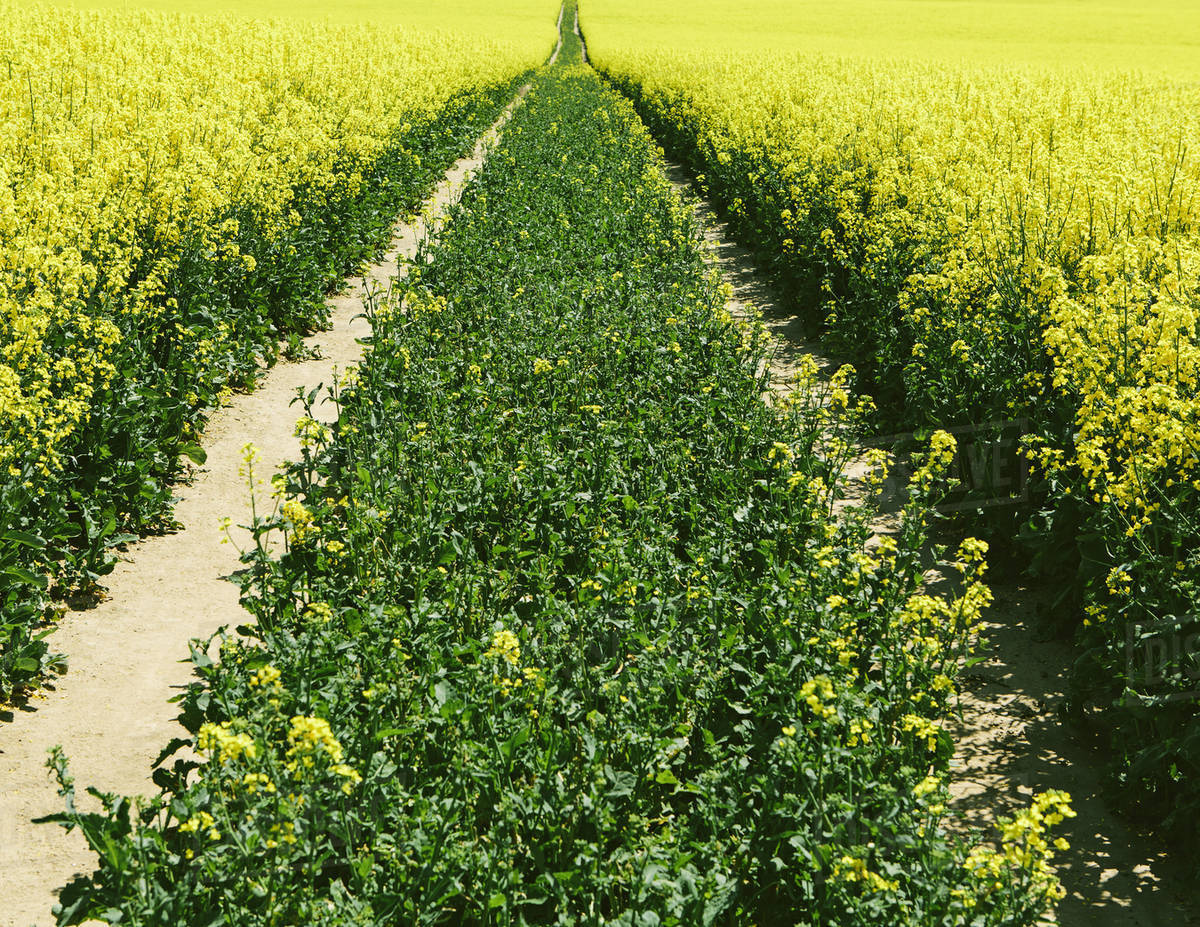 Road Through Field Of Yellow Flowering Mustard Seed Plants Growing