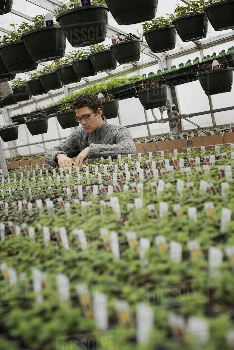 Spring Growth In An Organic Plant Nursery Glhouse A Man Checking Rows Of Seedlings And Young Plants