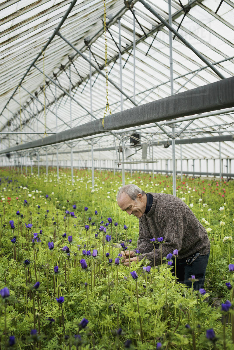 A Man Working In An Organic Plant Nursery Glhouse Early Spring