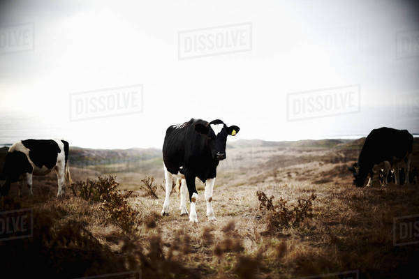 Three cows on grazing land.  Royalty-free stock photo