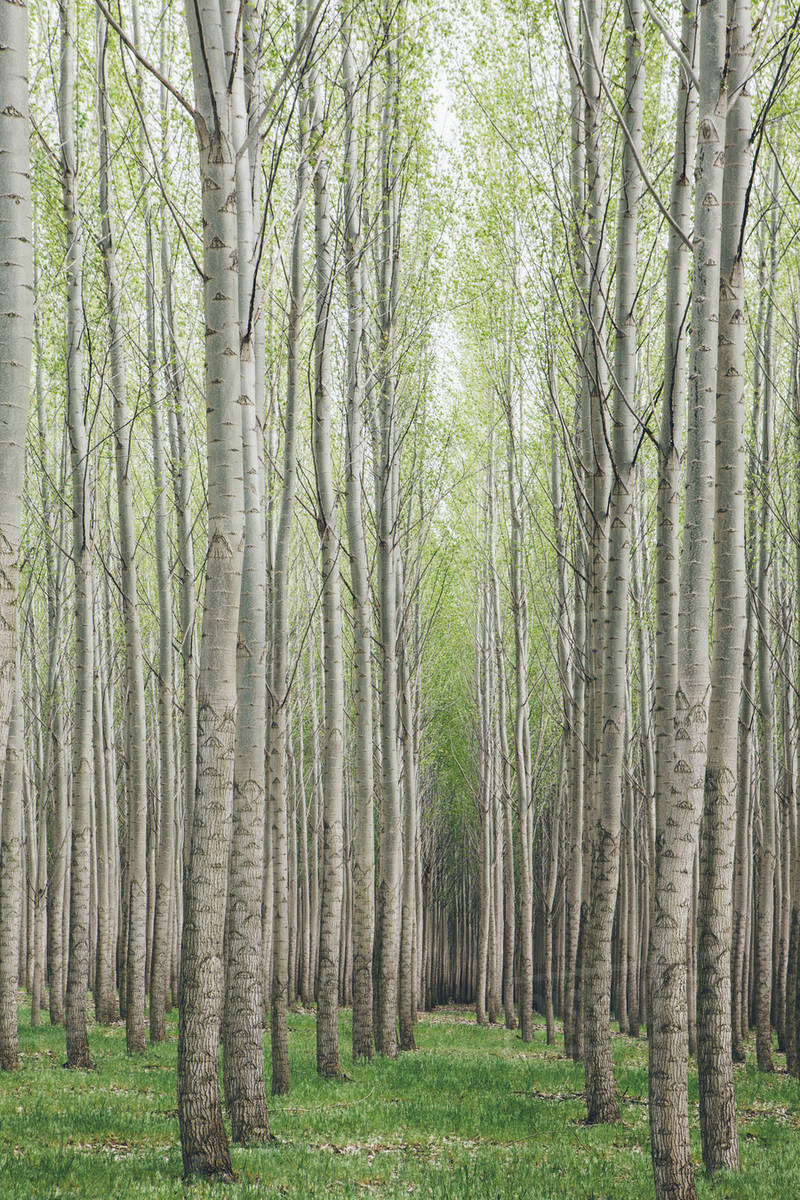Poplar Tree Plantation Nursery Growing Tall Straight Trees With White Bark In Oregon Usa