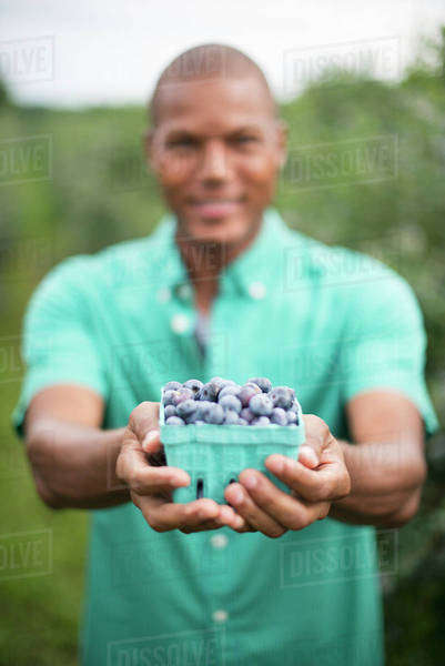 Organic fruit orchard. A man picking  blueberries, Cyanococcus, fruit. Royalty-free stock photo