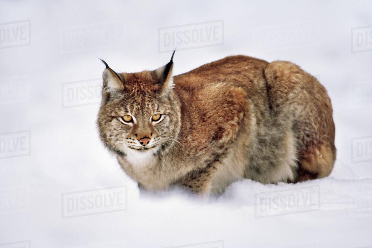 Lynx in Ranua, Finland (Ilves in Finnish) [OC] : lynxes