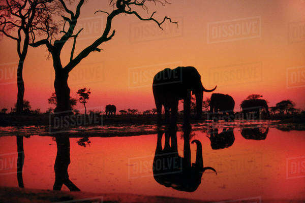 African elephants at dawn, Loxodonta africana, Chobe National Park, Botswana Rights-managed stock photo