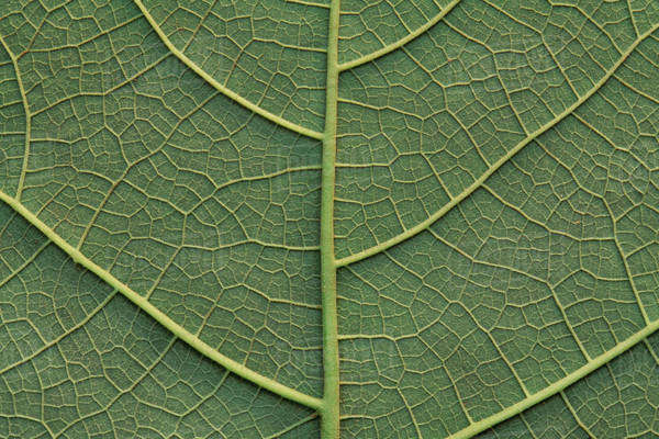 Close up of a green leaf in Manu National Park, Peru Rights-managed stock photo